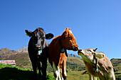 Cows at Oberalp Pass, Andermatt, Uri, Switzerland