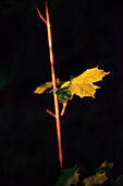 Evening sunlight illuminates maple leaf, Aalen, Ostalbkreis, Swabian Alb, Baden-Wuerttemberg, Germany