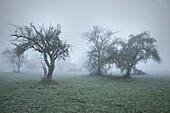 Bäume und Bauernhof in Nebel eingehüllt, Günzburg, Schwaben, Bayern, Deutschland