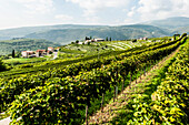 Wineyards at the Valpolicella, Marana di Valpolicella, Lago di Garda, Province of Verona, Northern Italy, Italy