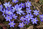 Liverwort, Hepatica nobilis, blooming, flower of the year 2013, Bavaria, Germany