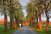 Jogger in an alley of blooming pears, Muensterland, North Rhine-Westphalia, Germany, Europe