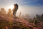 Juniper and blooming heather in the morning mist, Totengrund, Lueneburg Heath, Lower Saxony, Germany, Europe