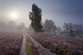 Birch at a wayside and blooming heather in the morning mist, Totengrund, Lueneburg Heath, Lower Saxony, Germany, Europe