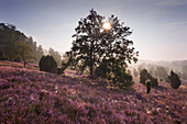 Oak and blooming heather in the morning mist, Totengrund, Lueneburg Heath, Lower Saxony, Germany, Europe