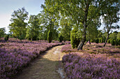 Path through the blooming heather, Lueneburg Heath, Lower Saxony, Germany, Europe