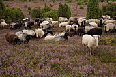 Sheep at Lueneburger Heide, Lueneburg Heath, Lower Saxony, Germany, Europe