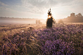 Juniper and blooming heather in the morning mist, Lueneburg Heath, Lower Saxony, Germany, Europe