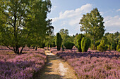 Path through blooming heather, Lueneburg Heath, Lower Saxony, Germany, Europe