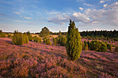 Juniper and blooming heather, Lueneburg Heath, Lower Saxony, Germany, Europe