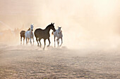 Freedom. Horses running in dusty pen