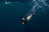 Snares Crested Penguin Eudyptes robustus. Crested penguin swimming underwater