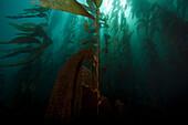 Giant Kelp Macrocystis pyrifera. Giant kelp floating underwater