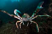 Giant spider crab Jacquinotia edwardsii. Close up of giant spider crab underwater