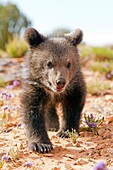 United Sates , Utah , Grizzly bear  Ursus arctos horribilis  , baby , young