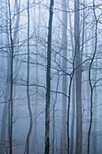 USA, Vereinigte Staaten, Amerika, Nebel, Dunst, nebelig, regnerisch, stimmungsvoll, kühl, atmosphärisch, Wald, Tennessee, TN, Großer Smokies, Nationalpark, Appalachen, Berge, Reihe, Auswahl, gespenstisch,. USA, Vereinigte Staaten, Amerika, Nebel, Dunst, n