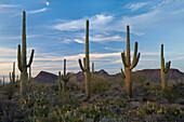 USA, Vereinigte Staaten, Amerika, Frühling, Saguaro, Kaktus, Nationalpark, Tucson, AZ, Arizona, Wüste, trocken, stachelig, dornig, scharf, stechen, Stachel, saftig, Carnegiea gigantea. USA, Vereinigte Staaten, Amerika, Frühling, Saguaro, Kaktus, Nationalp