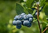 Blueberry bush, New Jersey, USA
