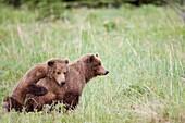 Grizzly brown bear, Ursus arctos -, Lake Clark National Park, Alaska, U S A