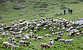 Transhumance, the great sheep trek across the main alpine crest in the Otztal Alps between South Tyrol, Italy, and North Tyrol, Austria  This very special sheep drive is part of the intangible cultural heritage of the austrian UNESCO Commission  Sheep br.