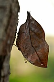 Dead leaf butterfly is an example of environmental adaptation and mimicry as a method of defense  Benalmadena Butterfly Park, Benalmadena, Malaga, Spain