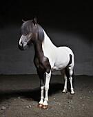 Portrait of Black ane White Icelandic horse, Iceland