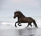Icelandic horse in the ocean running, Iceland
