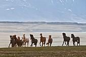 Herd of Icelandic Horses running free, Skagafjordur, Iceland