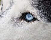 Siberian Husky with one blue eye, one brown eye