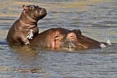 Hippo baby enjoying life on mum´s back