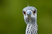 Juvenile Black-crowned Night Heron - Green Cay Wetlands - Delray Beach, Florida USA