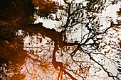 Large Tree and Twisted Branches Reflected in Shallow Water