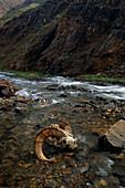 Dall Sheep Ram skull & Horns lay in Tatler Creek Denali National Park Interior Alaska Summer
