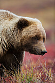 Close up portrait of a smiling Grizzly bear in Denali National Park, Interior Alaska, Fall