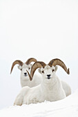 Two Dall Sheep rams bedded in snow on Sheep Mountain, Kluane National Park, Yukon Territory, Canada