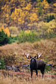Moose bull standing alert in front of Aspen during Fall at Powerline Pass, Chugach State Park, Chugach Mountains, Alaska