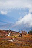 Three bull caribou bedded on Autumn tundra in Denali National Park, Interior Alaska