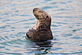 Sea otter with arms crossed floats upright in Prince William Sound, Alaska, Southcentral, Winter