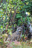 View of a wild Canada Lynx sitting beneath an alder tree in Denali National Park, Alaska, Interior, Fall