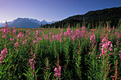 Fireweed in Meadow in Kenai Mountains KP Alaska Summer