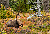 A cow moose rests in a blueberry patch during the Autumn rut in Chugach State Park near Anchorage, Southcentral Alaska, Fall/n