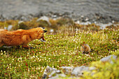 COMPOSITE Red Fox stalking a ground squirrel in Hatcher Pass, Southcentrel Alaska, Summer COMPOSITE
