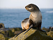 Portrait of a Juvenile Northern Fur Seal, St. Paul Island, Southwest Alaska, Summer