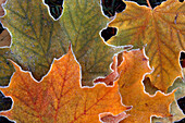 Fall leaves with frost close up