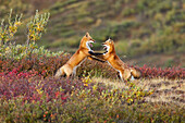 Two foxes near the top of Polychrome Pass in Denali National Park play with each other, Interior Alaska, Autumn