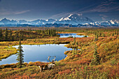 Scenic of bull caribou and tundra pond with the northside of Mt. McKinley in the background, fall colors and Denali in the background, Denali National Park and Preserve, Alaska, Fall, COMPOSITE