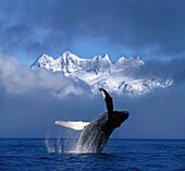 Humpback Whale Breaches in Clearing Fog SE AK Spring w/Mendenhall Towers background Composite