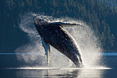 Humpback Whale breaching in the waters of the Inside Passage, Southeast Alaska, Summer