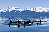 Orca surface in Lynn Canal near Juneau with Coast Range beyond, Inside Passage, Alaska