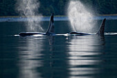 Orca Whales exhale (blows) as they surfaces in Alaska's Inside Passage, Southeast Alaska